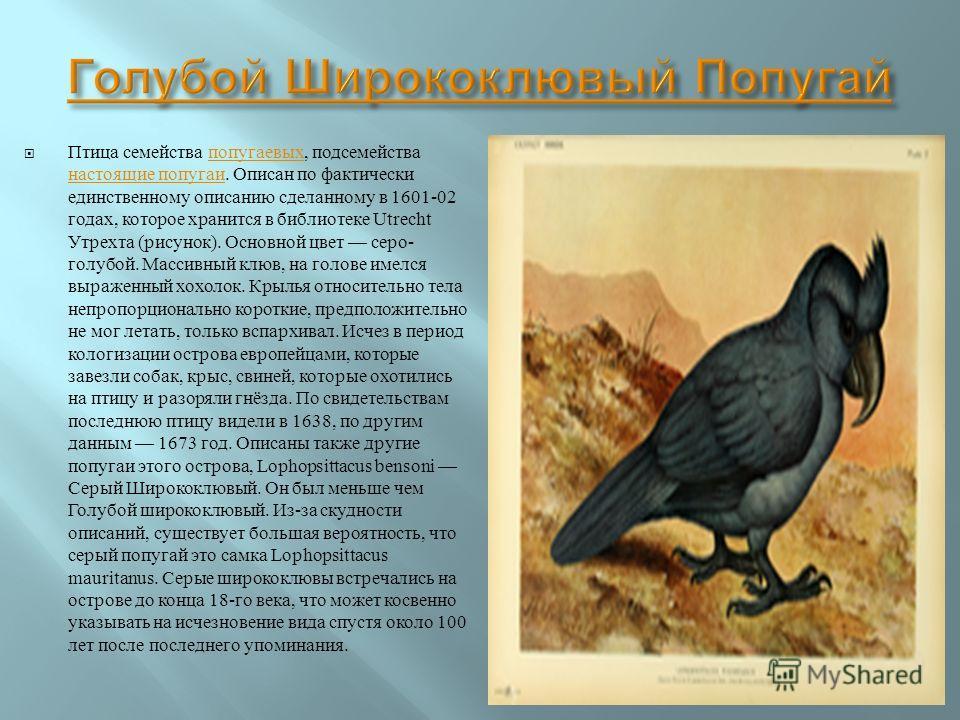Птица семейства попугаевых, подсемейства настоящие попугаи. Описан по фактически единственному описанию сделанному в 1601-02 годах, которое хранится в библиотеке Utrecht Утрехта ( рисунок ). Основной цвет серо - голубой. Массивный клюв, на голове име