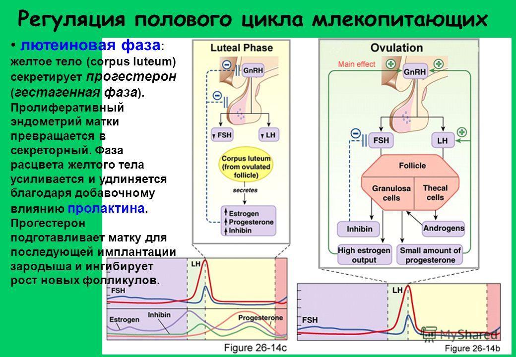 желтое тело прогестерон