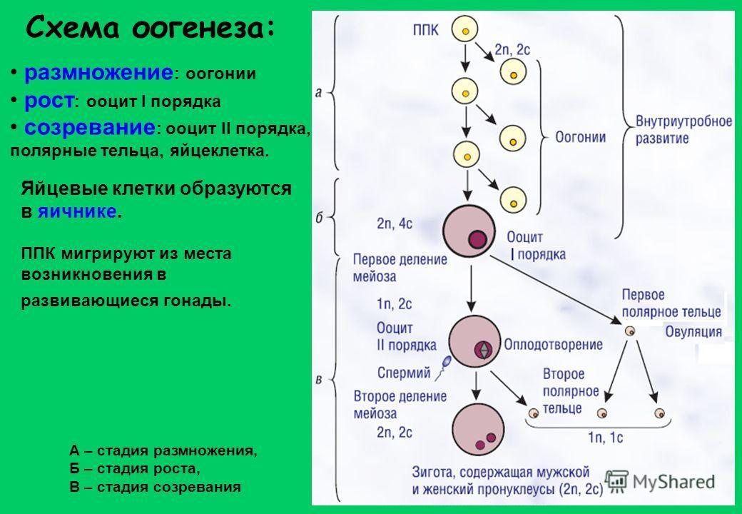 Схема оогенеза: размножение