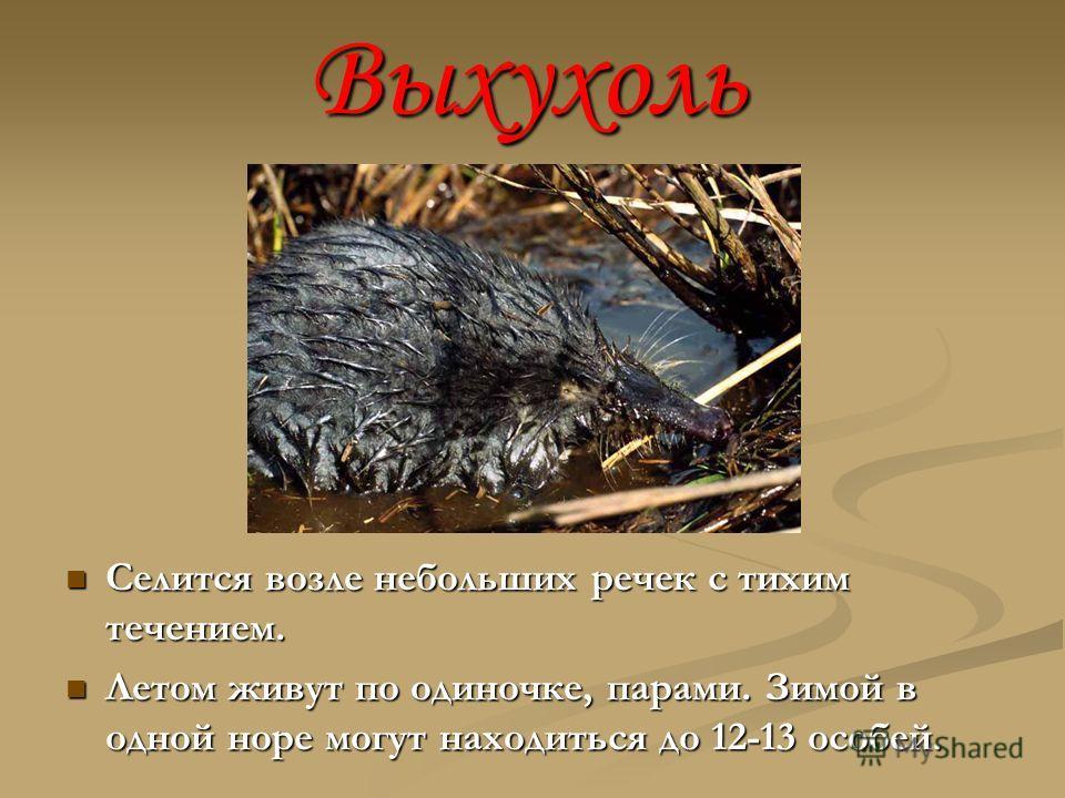Выхухоль Селится возле небольших речек с тихим течением. Летом живут по одиночке, парами. Зимой в одной норе могут находиться до 12-13 особей.