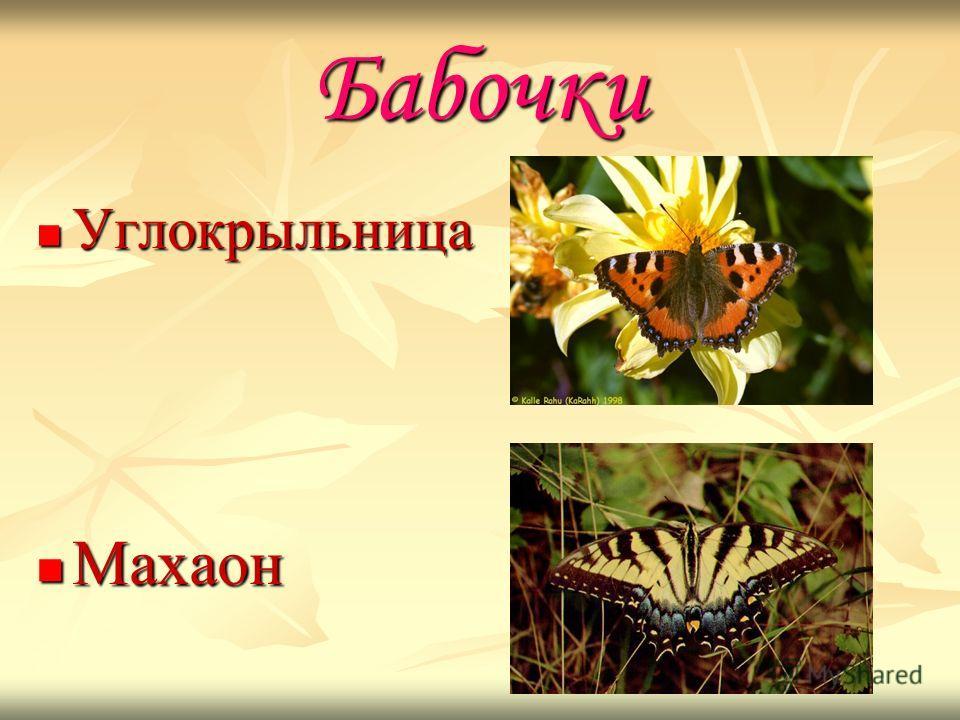 Бабочки Углокрыльница Углокрыльница Махаон Махаон