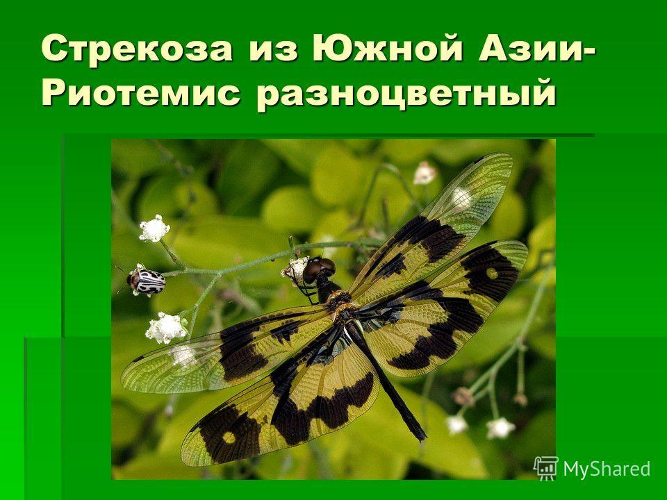 Стрекоза из Южной Азии- Риотемис разноцветный