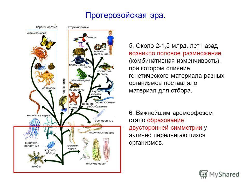 5. Около 2-1,5 млрд. лет назад возникло половое размножение (комбинативная изменчивость), при котором слияние генетического материала разных организмов поставляло материал для отбора. 6. Важнейшим ароморфозом стало образование двусторонней симметрии