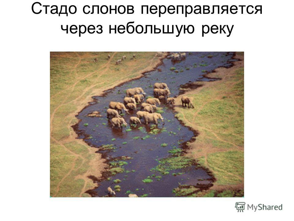 Стадо слонов переправляется через небольшую реку