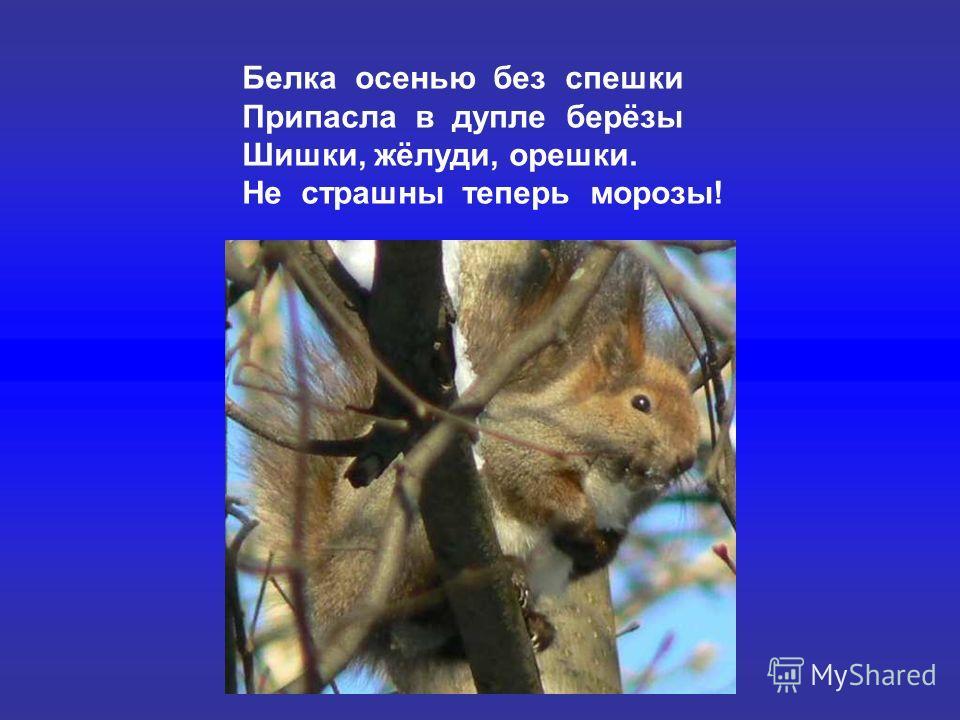 Белка осенью без спешки Припасла в дупле берёзы Шишки, жёлуди, орешки. Не страшны теперь морозы!
