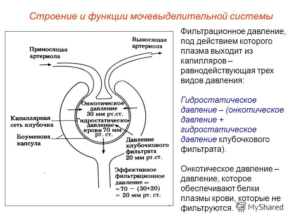 Фильтрационное давление, под действием которого плазма выходит из капилляров – равнодействующая трех видов давления: Гидростатическое давление – (онкотическое давление + гидростатическое давление клубочкового фильтрата). Онкотическое давление – давле