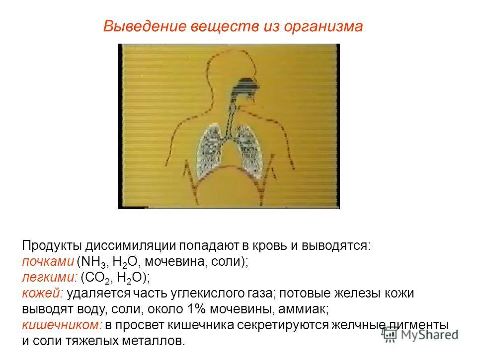 Выведение веществ из организма Продукты диссимиляции попадают в кровь и выводятся: почками (NH 3, H 2 O, мочевина, соли); легкими: (СО 2, Н 2 О); кожей: удаляется часть углекислого газа; потовые железы кожи выводят воду, соли, около 1% мочевины, амми