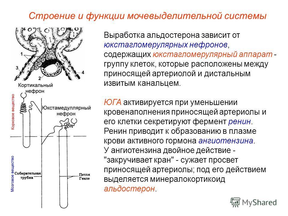 Строение и функции мочевыделительной системы Выработка альдостерона зависит от юкстагломерулярных нефронов, содержащих юкстагломерулярный аппарат - группу клеток, которые расположены между приносящей артериолой и дистальным извитым канальцем. ЮГА акт