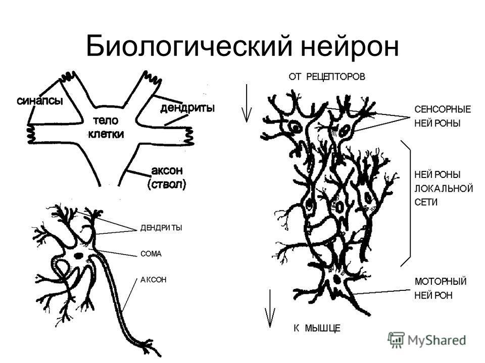 Биологический нейрон