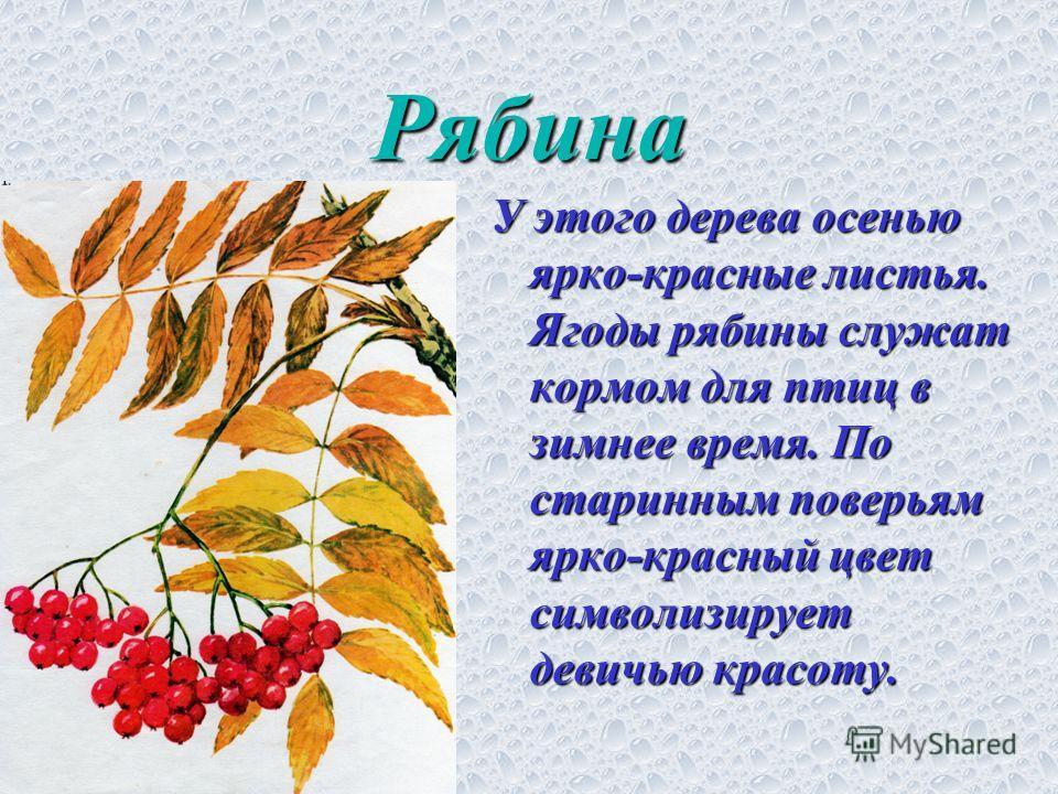Рябина У этого дерева осенью ярко-красные листья. Ягоды рябины служат кормом для птиц в зимнее время. По старинным поверьям ярко-красный цвет символизирует девичью красоту.