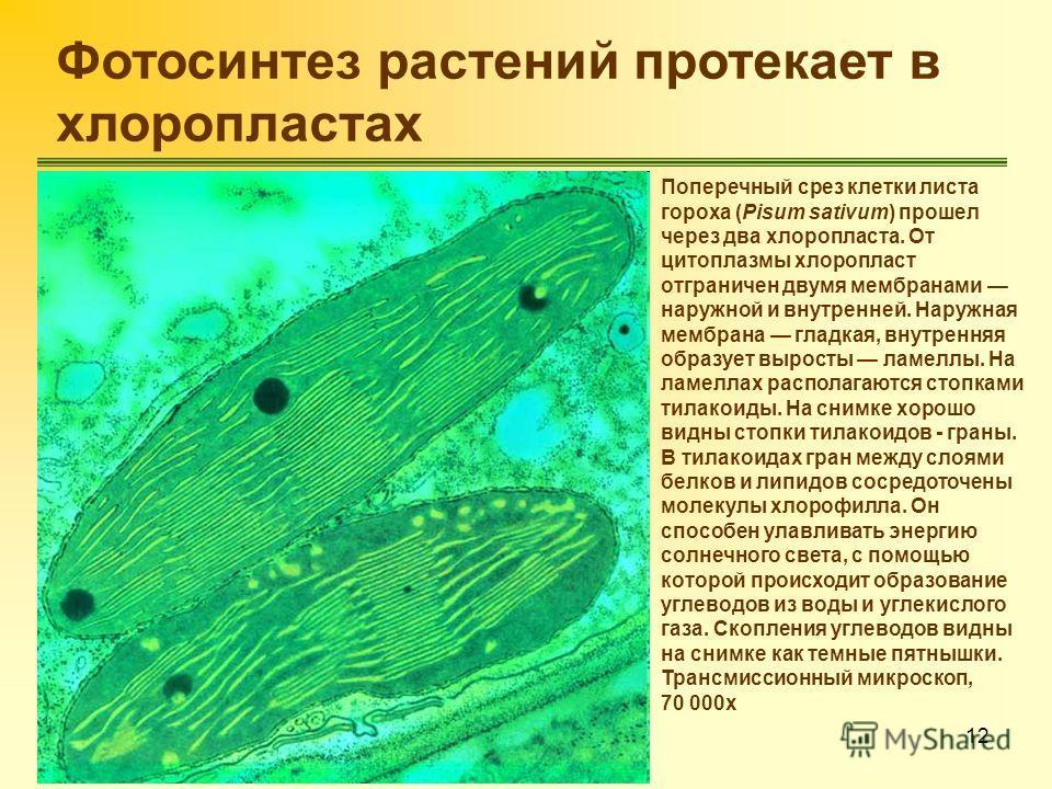12 Фотосинтез растений протекает в хлоропластах Поперечный срез клетки листа гороха (Pisum sativum) прошел через два хлоропласта. От цитоплазмы хлоропласт отграничен двумя мембранами наружной и внутренней. Наружная мембрана гладкая, внутренняя образу