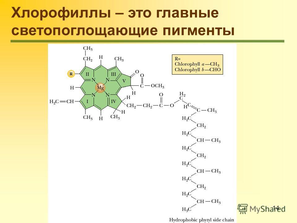 14 Хлорофиллы – это главные светопоглощающие пигменты