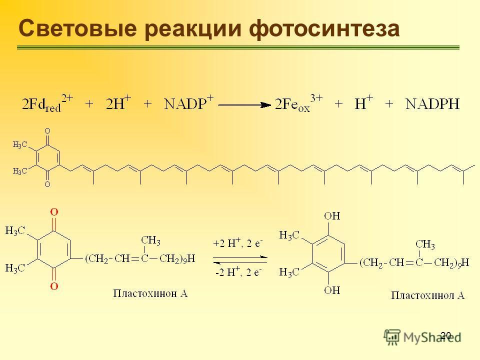 20 Световые реакции фотосинтеза