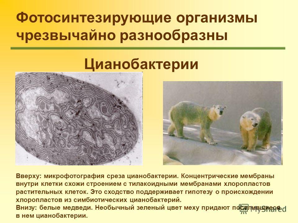 4 Фотосинтезирующие организмы чрезвычайно разнообразны Цианобактерии Вверху: микрофотография среза цианобактерии. Концентрические мембраны внутри клетки схожи строением с тилакоидными мембранами хлоропластов растительных клеток. Это сходство поддержи
