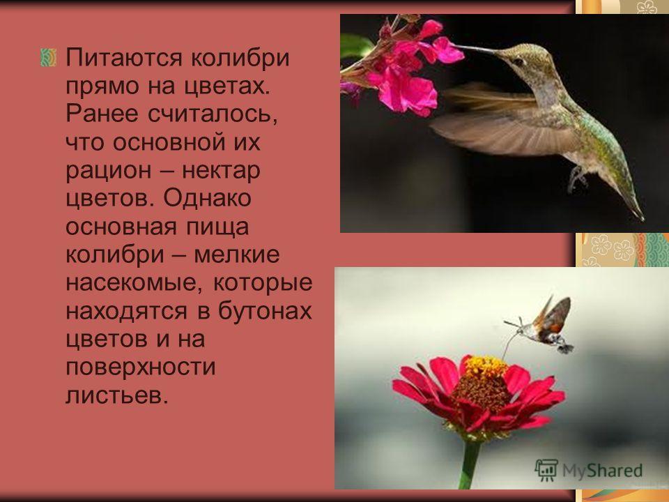 Питаются колибри прямо на цветах. Ранее считалось, что основной их рацион – нектар цветов. Однако основная пища колибри – мелкие насекомые, которые находятся в бутонах цветов и на поверхности листьев.
