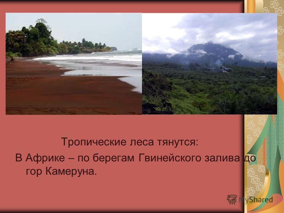 Тропические леса тянутся: В Африке – по берегам Гвинейского залива до гор Камеруна.