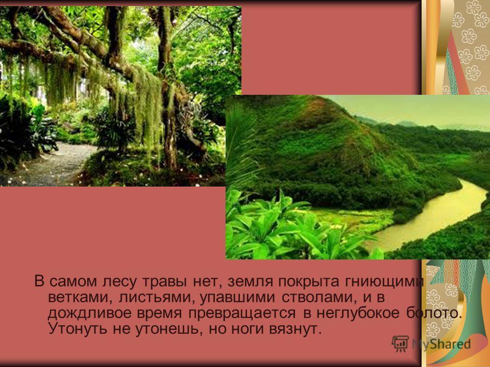 В самом лесу травы нет, земля покрыта гниющими ветками, листьями, упавшими стволами, и в дождливое время превращается в неглубокое болото. Утонуть не утонешь, но ноги вязнут.