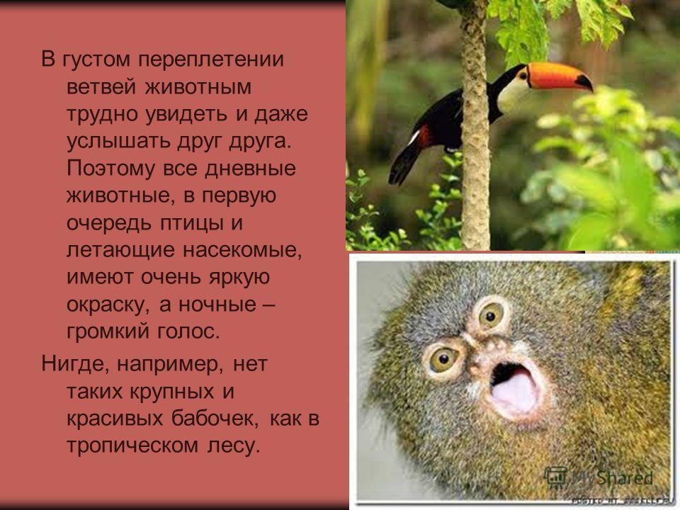 В густом переплетении ветвей животным трудно увидеть и даже услышать друг друга. Поэтому все дневные животные, в первую очередь птицы и летающие насекомые, имеют очень яркую окраску, а ночные – громкий голос. Нигде, например, нет таких крупных и крас