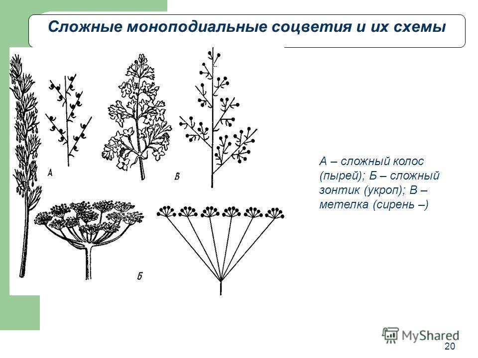 20 Сложные моноподиальные соцветия и их схемы А – сложный колос (пырей); Б – сложный зонтик (укроп); В – метелка (сирень –)
