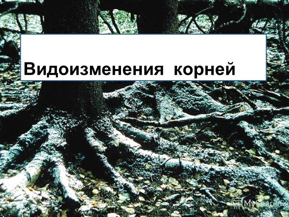 Ответьте на вопросы: 1) Какие корни развиваются на поставленных в воду черенках тополя, ивы, смородины? 2) Почему у верблюжьей колючки корень уходит на глубину до 30 метров, а у кактусов корневая система поверхностная? 3) Какое практическое значение