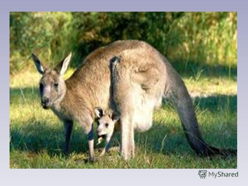 Морж Морж спросил у кенгуру: -Как выносишь ты жару? -Я от холода дрожу!- Кенгуру сказал моржу. Б.Заходер
