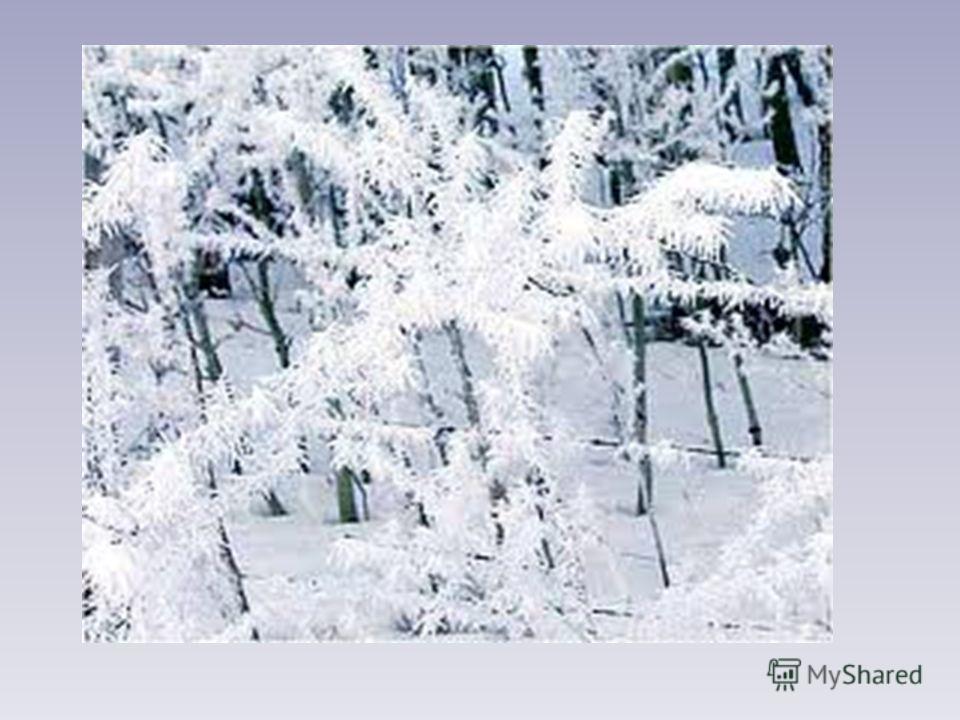 На ветру, на первом холоде, Старый дуб роняет жёлуди. А в саду за нашей школою Иней сел на ветки голые. С. Смирнов