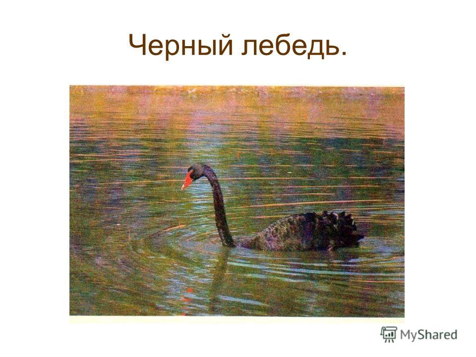 Черный лебедь.