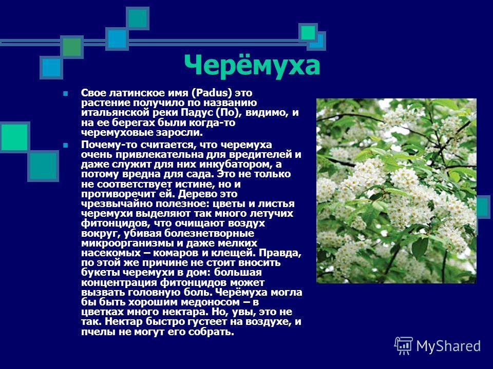 Черёмуха Свое латинское имя (Padus) это растение получило по названию итальянской реки Падус (По), видимо, и на ее берегах были когда-то черемуховые заросли. Почему-то считается, что черемуха очень привлекательна для вредителей и даже служит для них