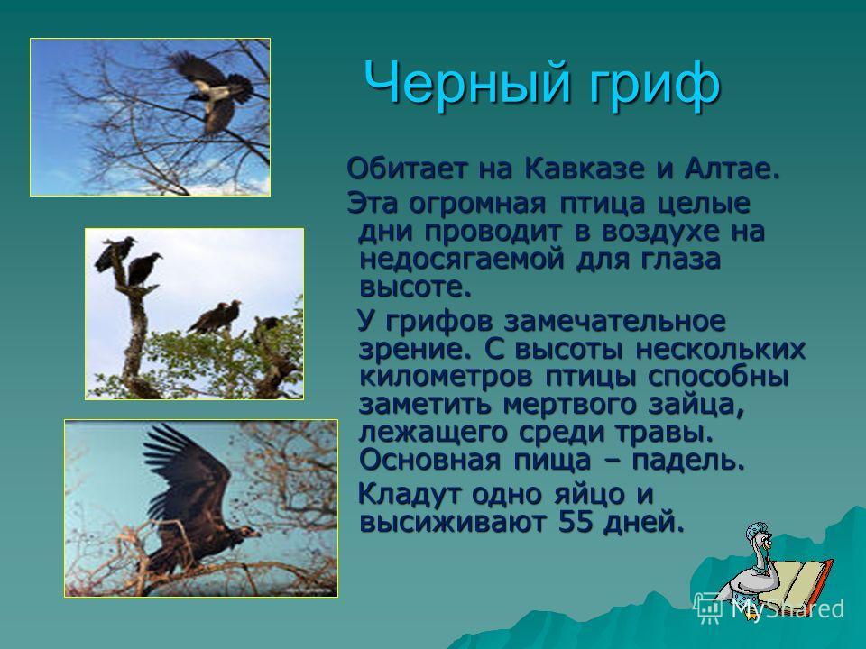 Черный гриф Обитает на Кавказе и Алтае. Обитает на Кавказе и Алтае. Эта огромная птица целые дни проводит в воздухе на недосягаемой для глаза высоте. Эта огромная птица целые дни проводит в воздухе на недосягаемой для глаза высоте. У грифов замечател