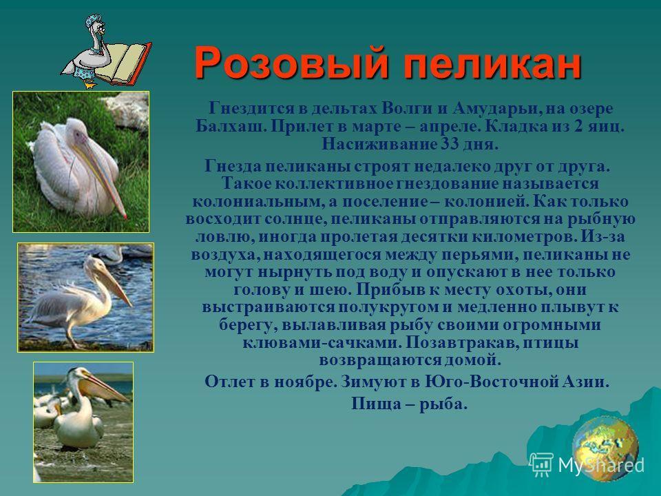 Розовый пеликан Гнездится в дельтах Волги и Амударьи, на озере Балхаш. Прилет в марте – апреле. Кладка из 2 яиц. Насиживание 33 дня. Гнезда пеликаны строят недалеко друг от друга. Такое коллективное гнездование называется колониальным, а поселение –
