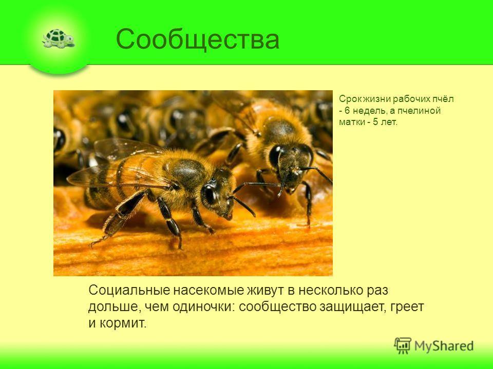 Сообщества Социальные насекомые живут в несколько раз дольше, чем одиночки: сообщество защищает, греет и кормит. Срок жизни рабочих пчёл - 6 недель, а пчелиной матки - 5 лет.