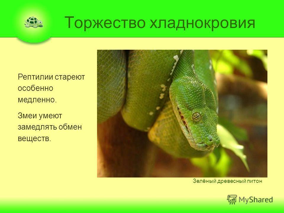 Торжество хладнокровия Рептилии стареют особенно медленно. Змеи умеют замедлять обмен веществ. Зелёный древесный питон