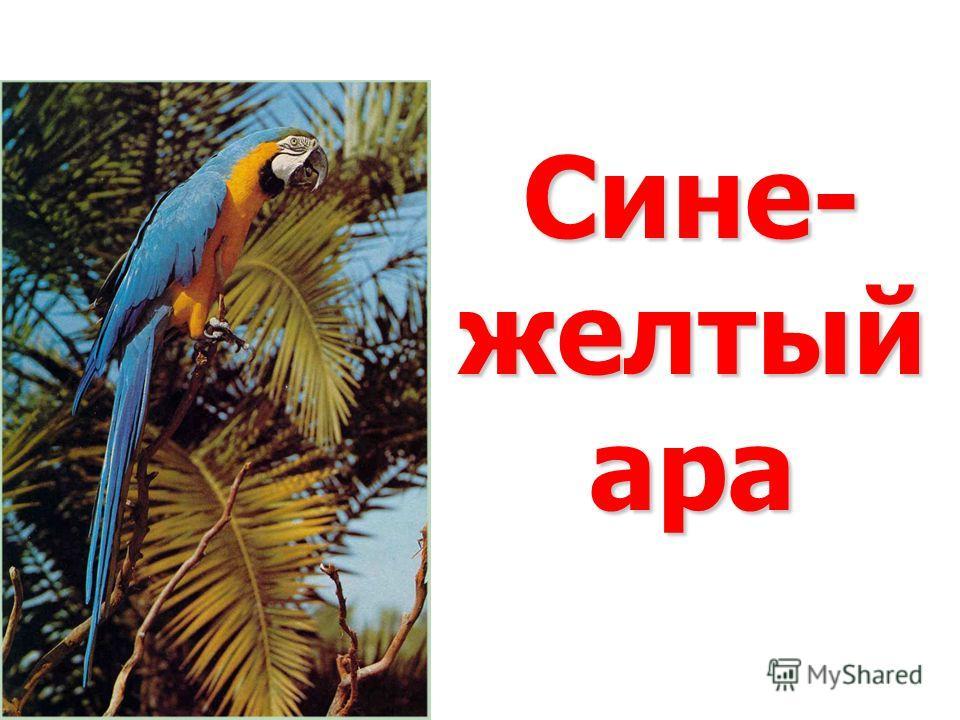 Сине- желтый ара