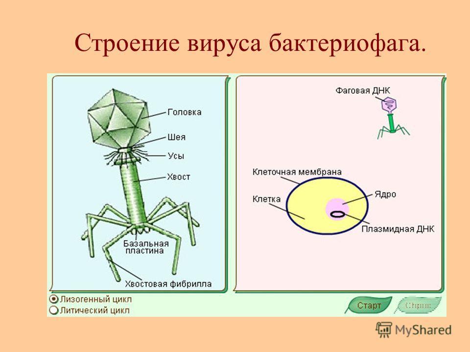 Строение вируса бактериофага.