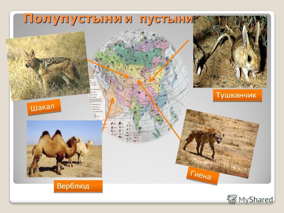 Презентация На Тему Верблюд