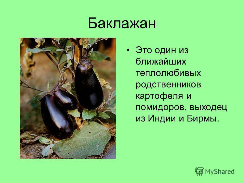 Баклажан Это один из ближайших теплолюбивых родственников картофеля и помидоров, выходец из Индии и Бирмы.