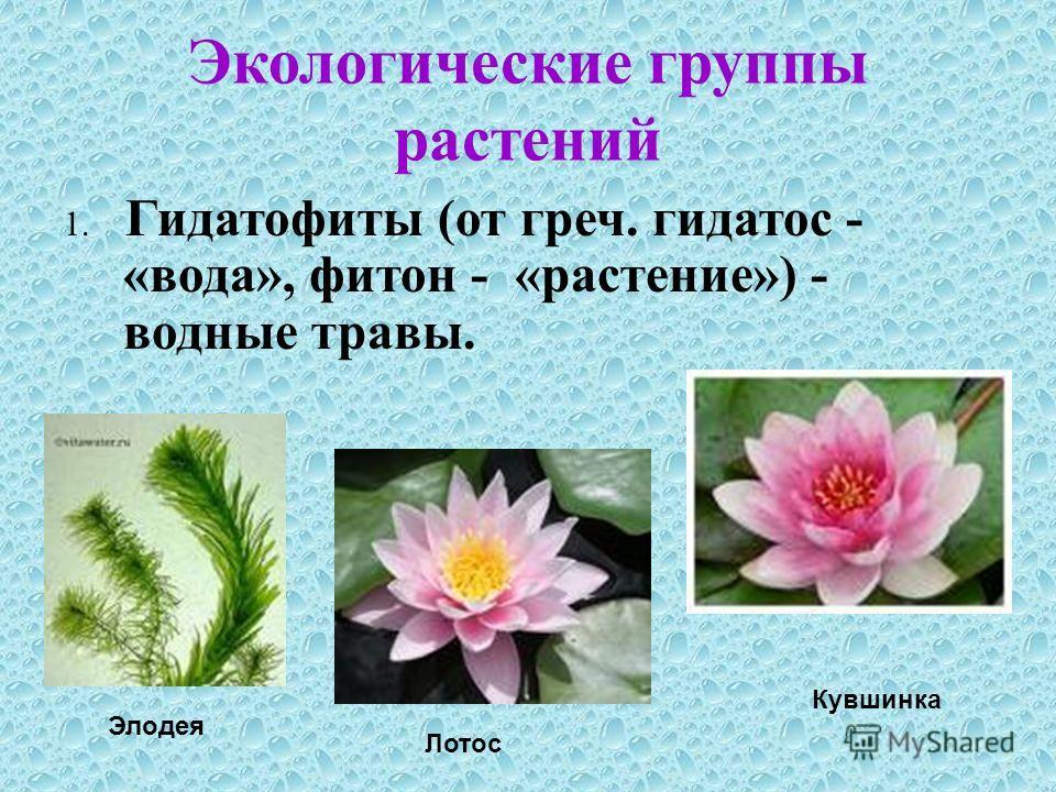 Экологические группы растений 1. Гидатофиты (от греч. гидатос - «вода», фитон - «растение») - водные травы. Элодея Лотос Кувшинка