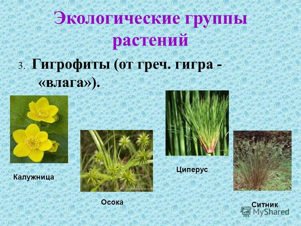 Экологические группы растений 3. Гигрофиты (от греч. гигра - «влага»). Калужница Осока Циперус Ситник