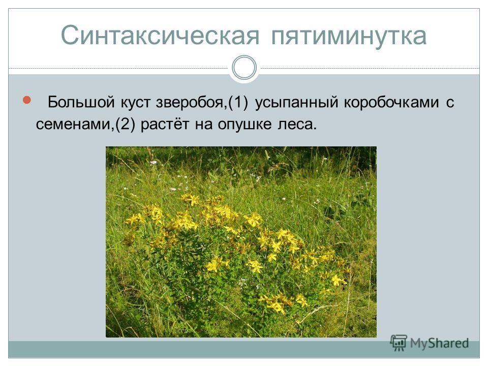 Синтаксическая пятиминутка Большой куст зверобоя,(1) усыпанный коробочками с семенами,(2) растёт на опушке леса.