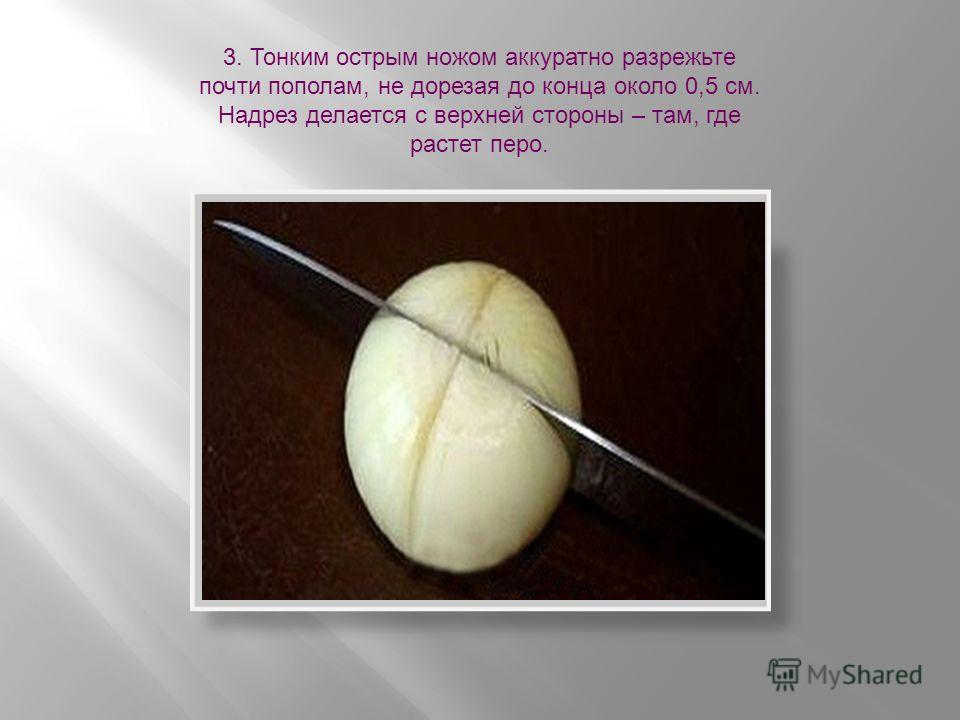 3. Тонким острым ножом аккуратно разрежьте почти пополам, не дорезая до конца около 0,5 см. Надрез делается с верхней стороны – там, где растет перо.