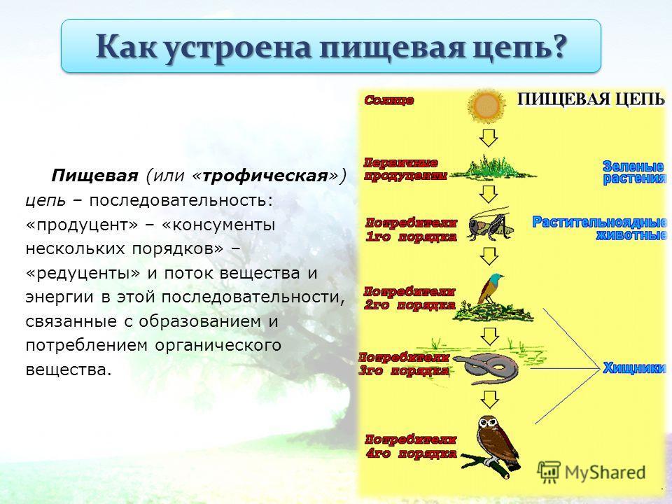 Пищевая (или «трофическая») цепь – последовательность: «продуцент» – «консументы нескольких порядков» – «редуценты» и поток вещества и энергии в этой последовательности, связанные с образованием и потреблением органического вещества. Как устроена пищ
