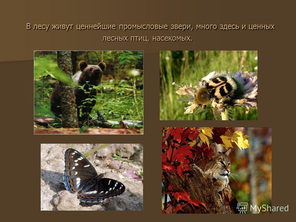 В лесу живут ценнейшие промысловые звери, много здесь и ценных лесных птиц, насекомых. В лесу живут ценнейшие промысловые звери, много здесь и ценных лесных птиц, насекомых.