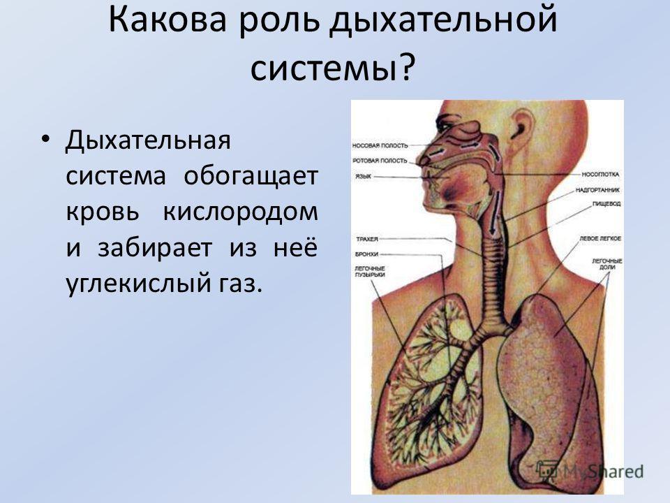 Какова роль дыхательной системы? Дыхательная система обогащает кровь кислородом и забирает из неё углекислый газ.
