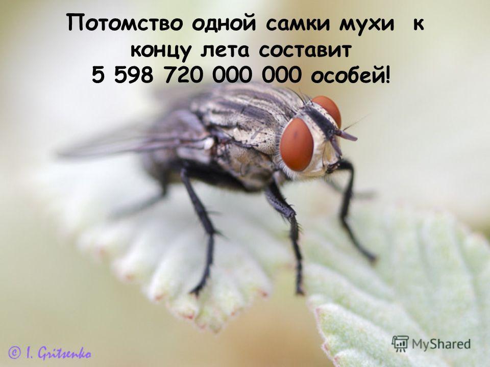 П отомство одной самки мухи к концу лета составит 5 598 720 000 000 особей!