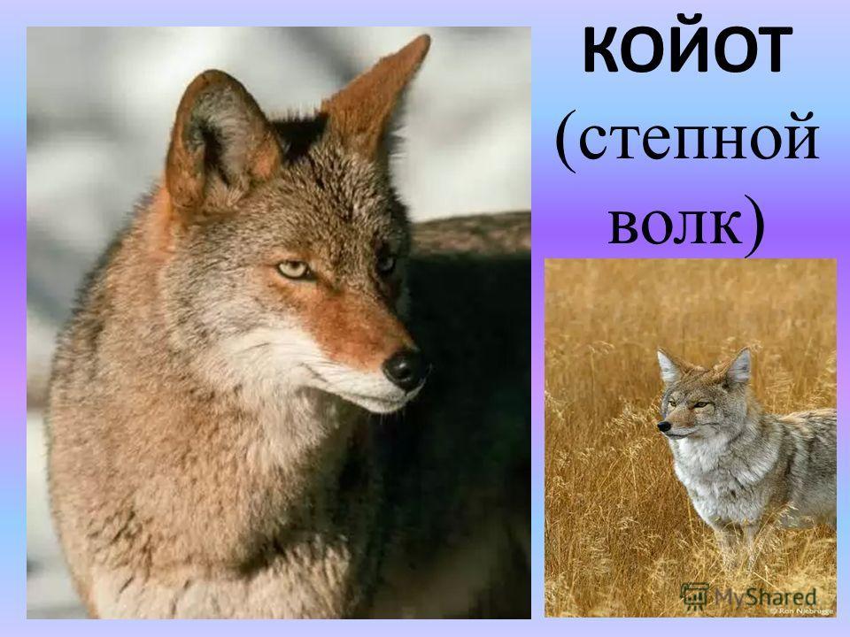КОЙОТ (степной волк)