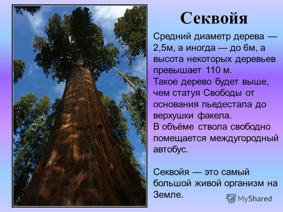 Секвойя Средний диаметр дерева 2,5м, а иногда до 6м, а высота некоторых деревьев превышает 110 м. Такое дерево будет выше, чем статуя Свободы от основания пьедестала до верхушки факела. В объёме ствола свободно помещается междугородный автобус. Секво