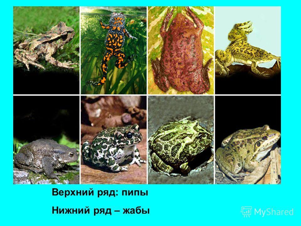 Верхний ряд: пипы Нижний ряд – жабы