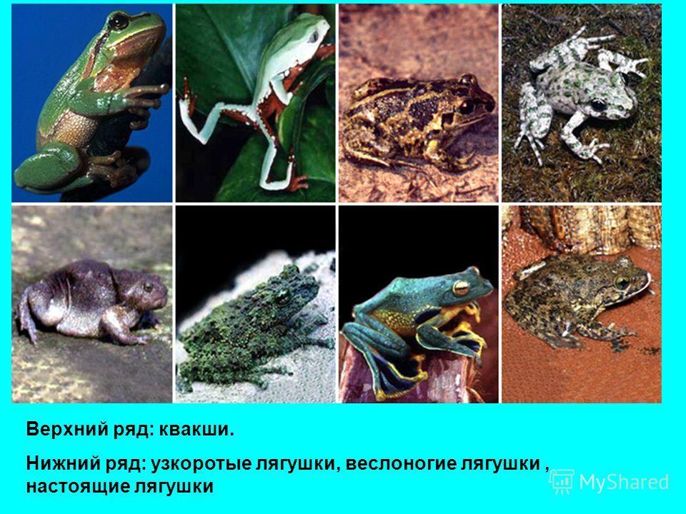 Верхний ряд: квакши. Нижний ряд: узкоротые лягушки, веслоногие лягушки, настоящие лягушки