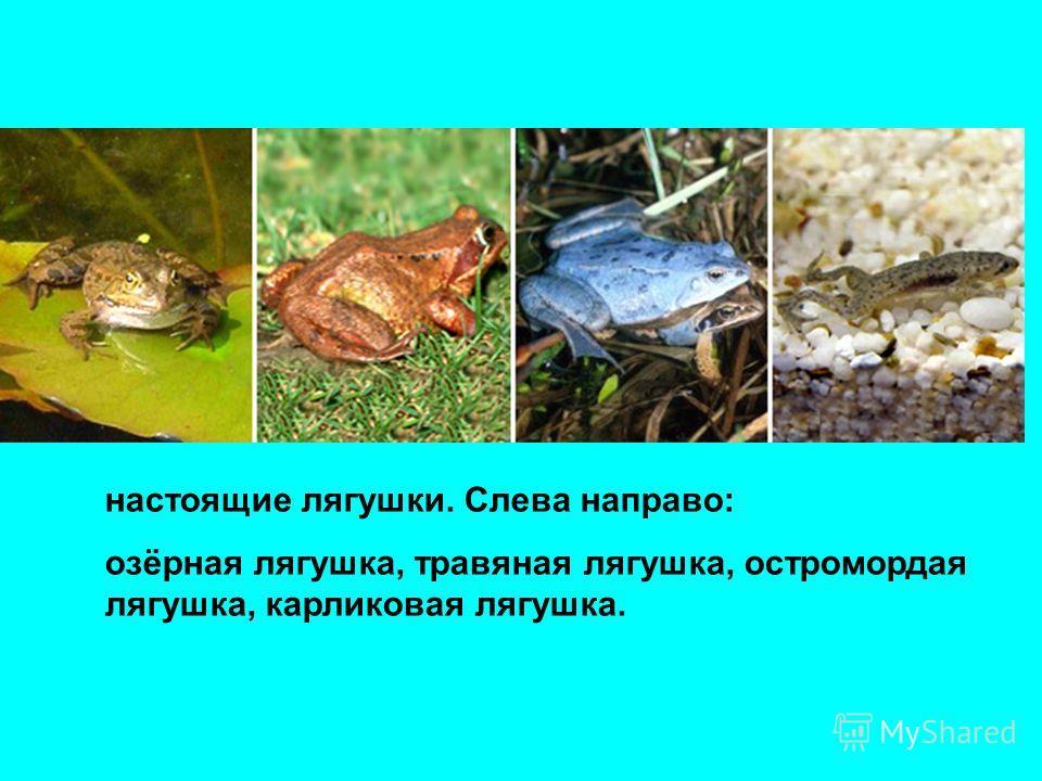 настоящие лягушки. Слева направо: озёрная лягушка, травяная лягушка, остромордая лягушка, карликовая лягушка.