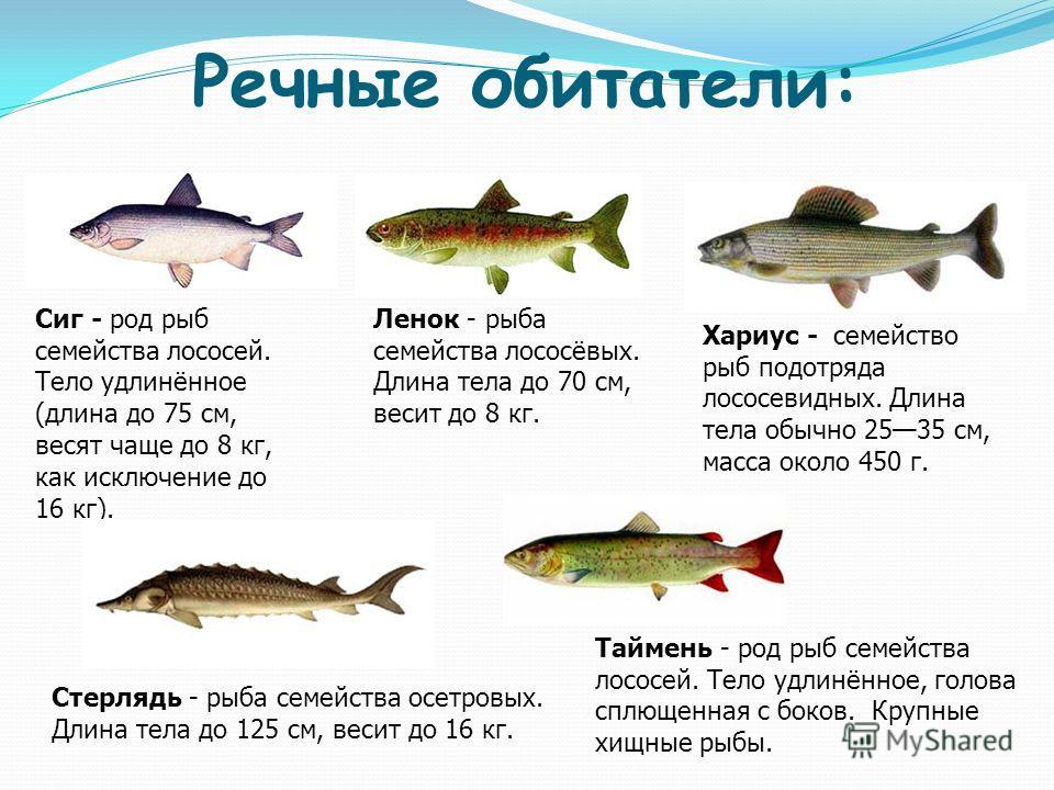 Речные обитатели: Сиг - род рыб семейства лососей. Тело удлинённое (длина до 75 см, весят чаще до 8 кг, как исключение до 16 кг). Ленок - рыба семейства лососёвых. Длина тела до 70 см, весит до 8 кг. Хариус - семейство рыб подотряда лососевидных. Дли